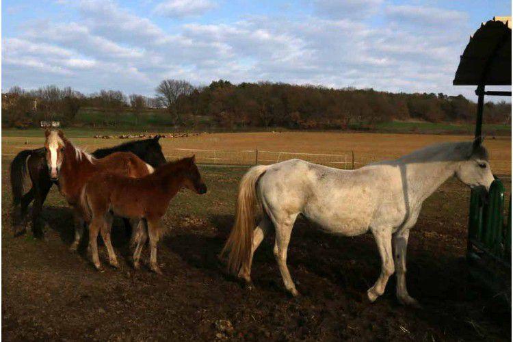 Camping Ferme Equestre Les Coccinelles - La cavalerie et les poulains
